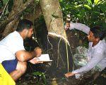 Создан метод диагностики болезней каучуковых деревьев